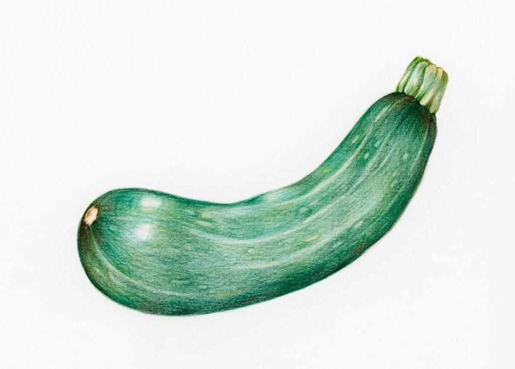 Ilustración de un calabacín, zapallo italiano o calabacita de color verde