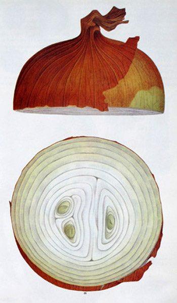 Cebolla blanca dibujada por el japonés Tadashi Ohashi, conocido por su trabajo para la marca Kikkoman