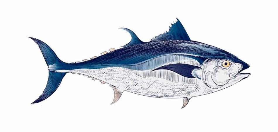 Ilustración de un atún de aleta azul